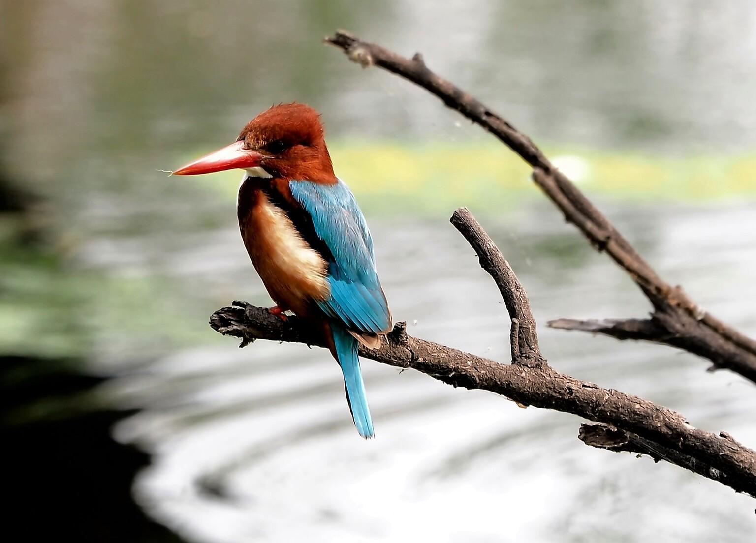 Mijn  Reizen  - En dit de andere soort   hij is ook een beetje groter   maar met die kleur van  de kop   valt hij  op .    Bedankt voor de reacties  Groeten    Eddy  - foto door Stumpf op 12-04-2021 - locatie: India - deze foto bevat: vogel, bek, organisme, takje, piciformes, bijeneter, elektrisch blauw, staart, veer, terrestrische dieren