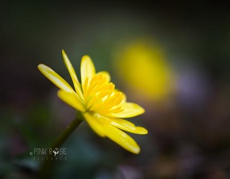 De zon op je gezicht... - Dank voor alle reacties bij de vorige upload. Ik hoop dat het zonnetje nog iets van zich laat zien dit weekend. Fijne Pasen, liefs Marieke. - foto door PinkRosePictures op 02-04-2021 - deze foto bevat: macro, bloem, lente, natuur, geel, licht, dof