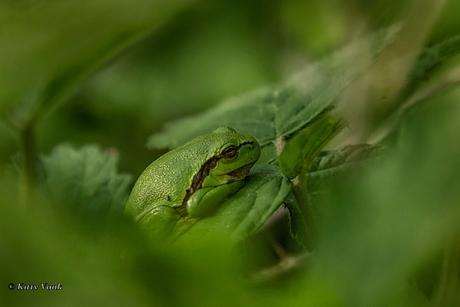 Kikkertje in het groen