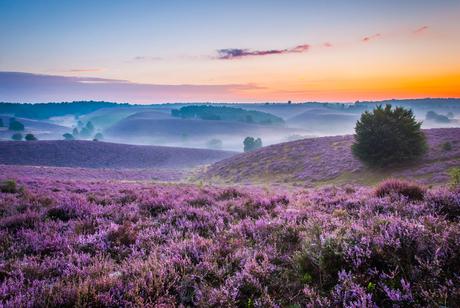 Purple sea of the Posbank