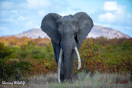 Great Tusker