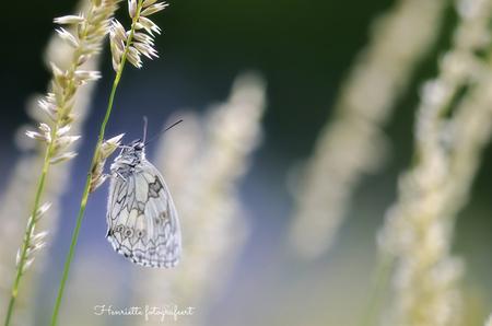 Dambordje in het blauw... - Een heerlijk weekend vol met vlinders. Er zaten er zoveel, echt bizar! - foto door Henriettegt op 05-07-2020 - deze foto bevat: macro, blauw, natuur, vlinder, insect, dambordje