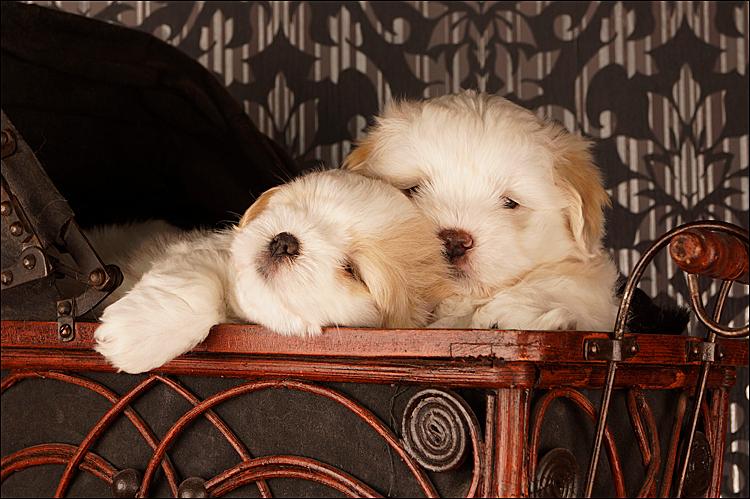 Clarck & Catelle - Cotton de Tulear pups @ 6 weeks - foto door Silky op 28-07-2012 - deze foto bevat: huisdier, hond, puppie, pups, puppies