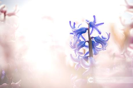 Tijgeren tussen de hyacinten