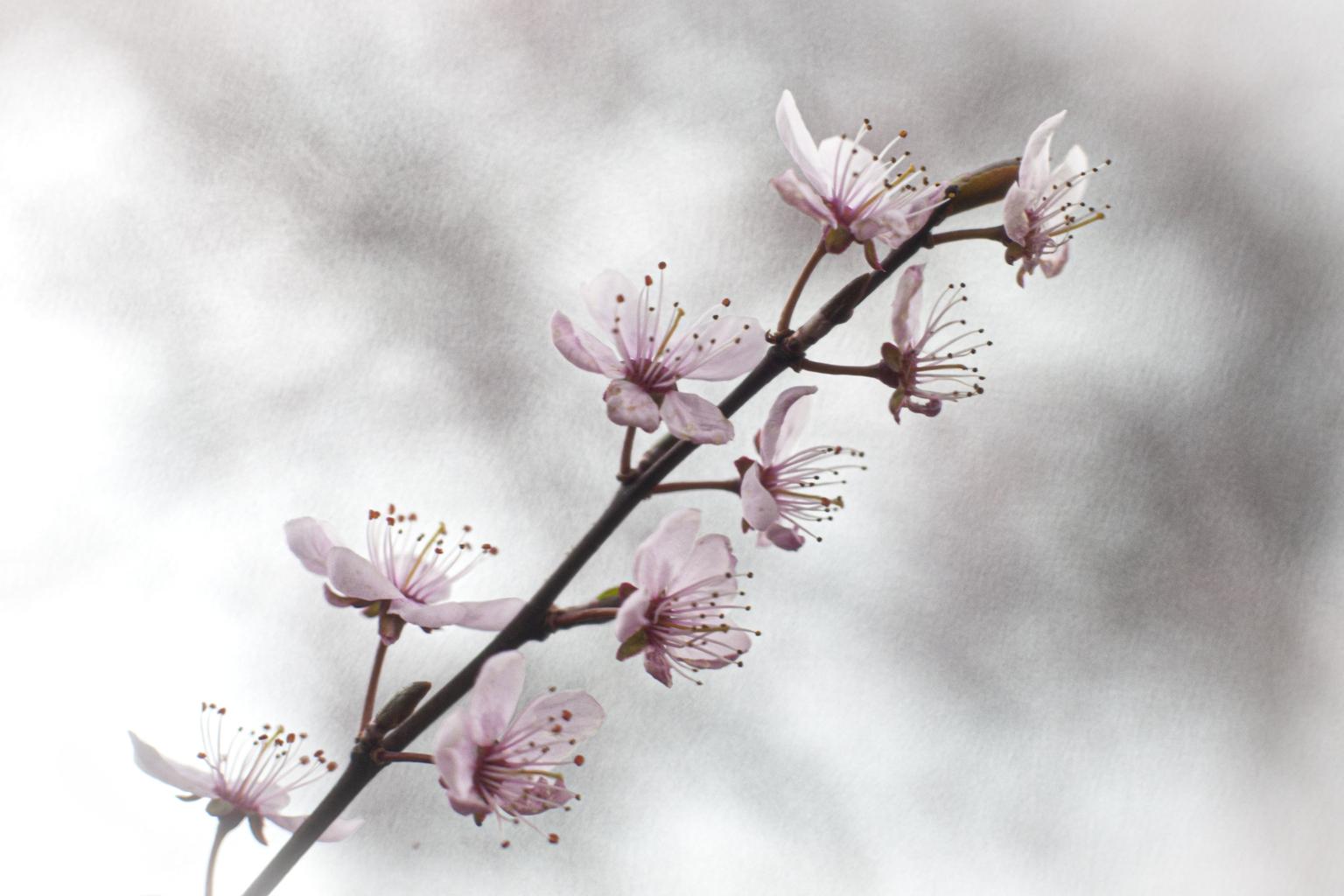 Prunus - Ik heb voor deze sierlijke prunus uit mijn tuin geen vintage lens gebruikt, maar wel een vintage filter voor mijn lens gehouden. Het weer werkte niet - foto door hettieheijnis op 10-04-2021 - deze foto bevat: prunus,, bloesem, tuin, lente, roze, pastel, zacht licht, natuurfotografie, bloem, fabriek, lucht, wolk, afdeling, takje, plantkunde, bloemblaadje, bloeiende plant, terrestrische plant