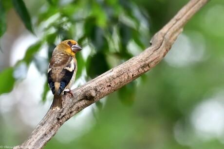 Charming Finch