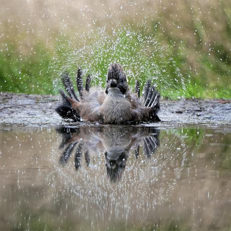 Gaai gaat in bad