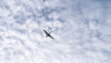 Hoog in de lucht.. - - - foto door MichelvR op 28-02-2021 - deze foto bevat: vogel, zwaan