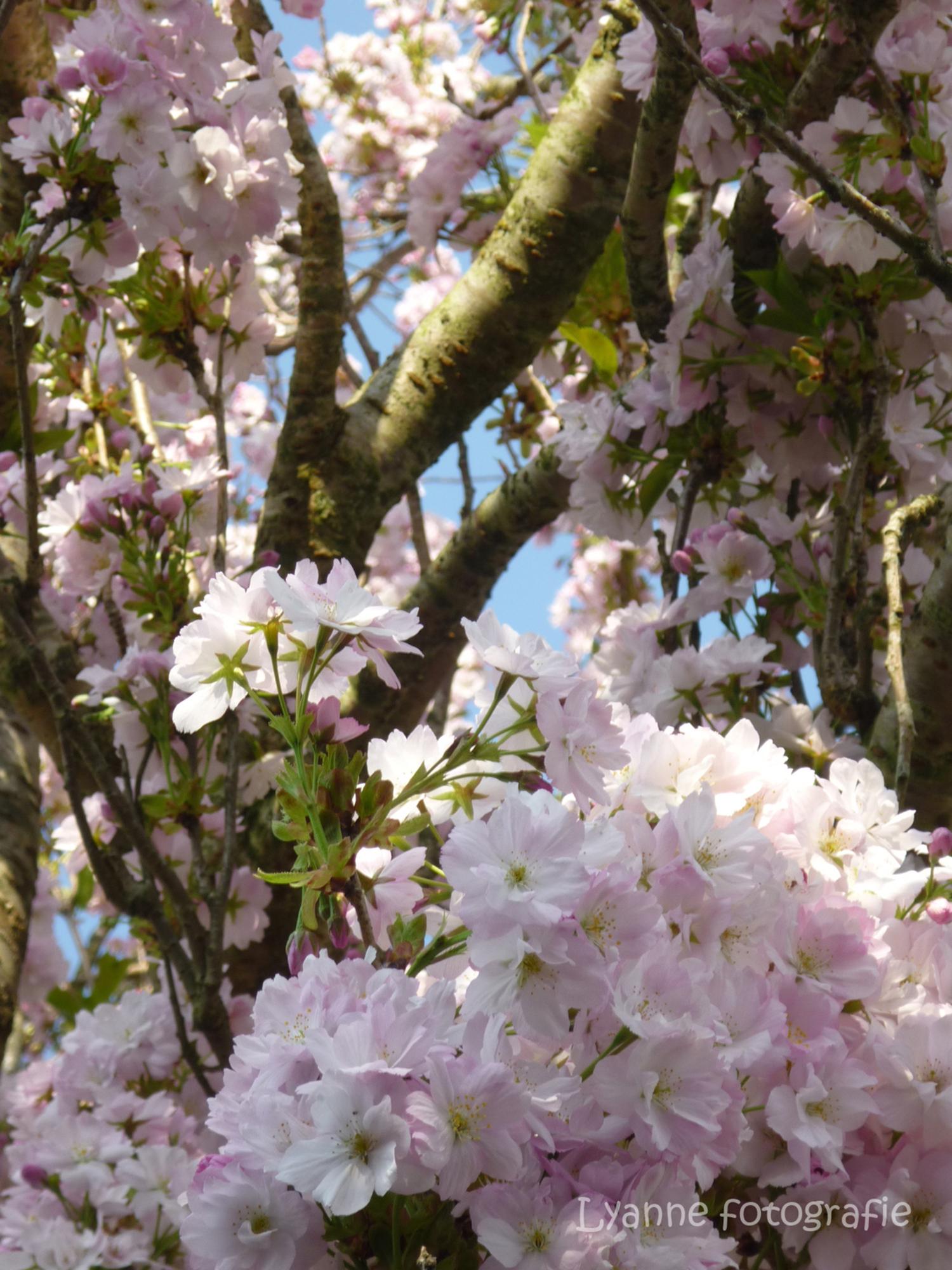 roze bloemen - een bloeiende boom op een mooie lente dag - foto door lyanne4145 op 26-12-2011 - deze foto bevat: roze, boom, bloem, lente