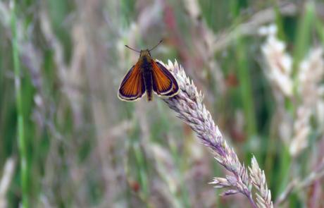 Zwartsprietdikkopje - Vlinder