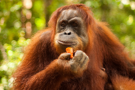 Oerang Oetang in de Jungle