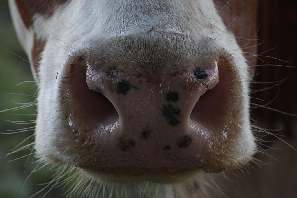 Ik heb een natte snuit - Nog een detail van de lieve nieuwsgierige dames. - foto door Dodsi op 08-08-2013 - deze foto bevat: bruin, koeien, koe, luieren, nieuwsgierig, weiland, grazen, twente, hoorns, melkkoe, grasland, viervoeters, uiers