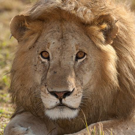Leeuw met tegenlicht in Masai Mara