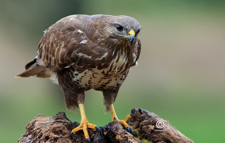Buizerd close up 3