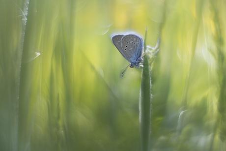 klaverblauwtje