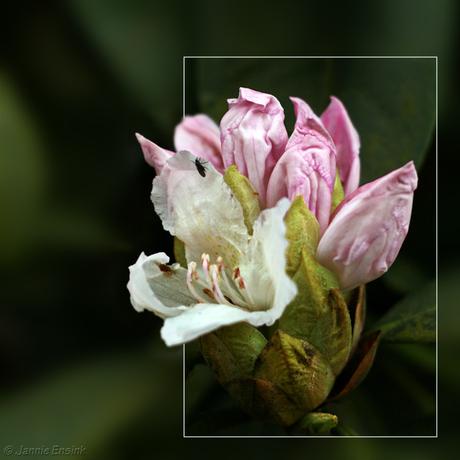 Rhododendronknop
