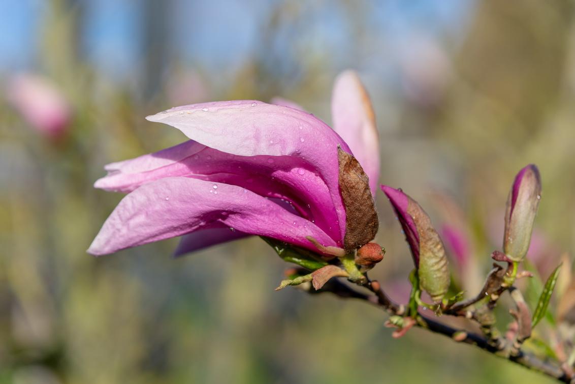 Puber Magnolia - Ontvouwende Magnolia - foto door Multi1100 op 26-12-2018 - deze foto bevat: bloem, lente, natuur, druppel, licht, landschap, voorjaar, nederland