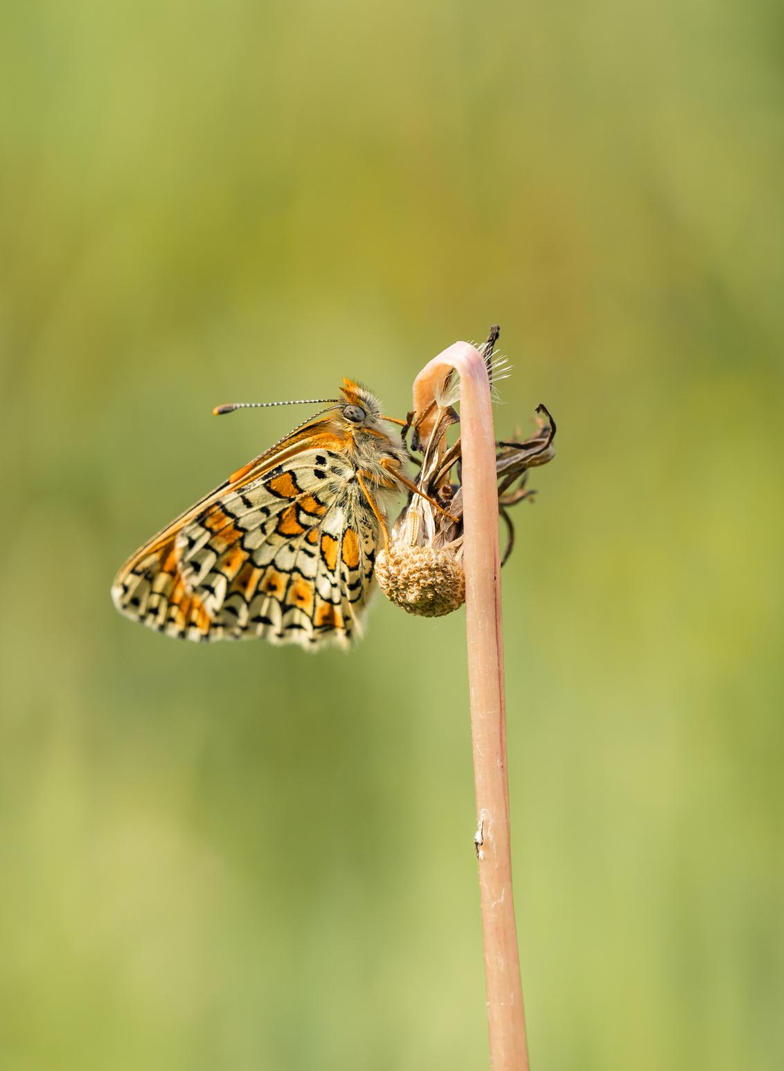 Succesvol.....flash-back (21) - Soms lukt het om een soort succesvol te herintroduceren in een gebied. Zo ook gelukkig met de veldparelmoervlinder. Een programma dat al enkele jaren - foto door franspelzer op 27-03-2021 - deze foto bevat: groen, macro, lente, natuur, vlinder, oranje, parelmoervlinder, veldparelmoervlinder, franspelzer
