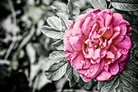 Roos - Een roze roos. Hier omgezet naar zwart-wit waarbij de bloem haar kleur behouden heeft. Op de bloem zijn de druppels van een regenbui nog te zien. - foto door crazyrooster op 31-05-2010 - deze foto bevat: roze, bloem, water, natuur, regen, roos, regendruppels, druppels, zwart-wit