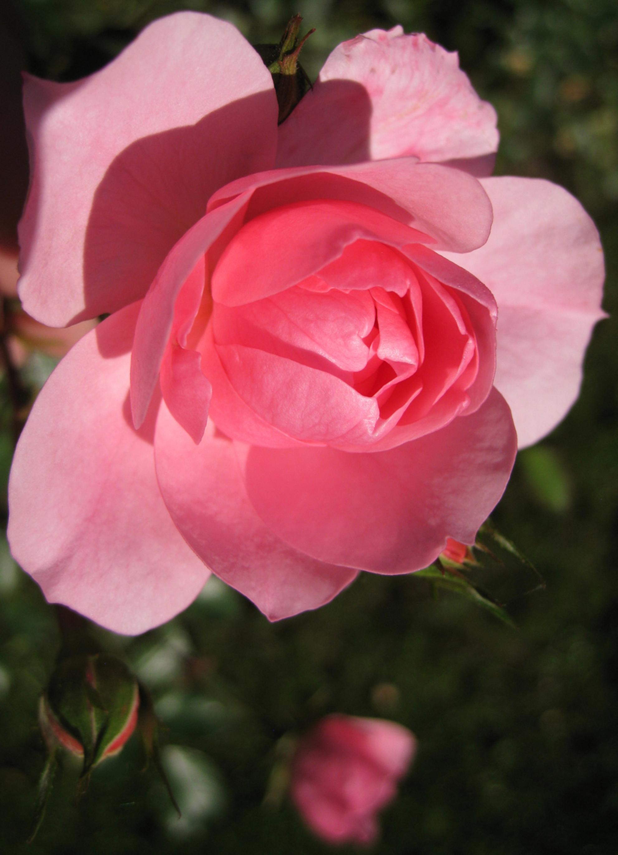 Rose - In Barchem deze roos gefotografeerd met de macrofunctie van de compact. - foto door martijn-eilander op 18-12-2011 - deze foto bevat: roze, macro, bloem, roos, rose - Deze foto mag gebruikt worden in een Zoom.nl publicatie