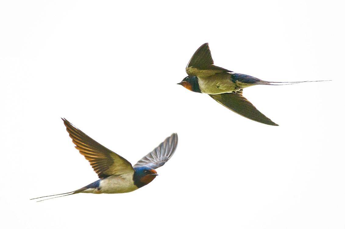OP PATROUILLE - Deze keer zitten de insecten in hogere sferen. - foto door swimmaster op 01-07-2013 - deze foto bevat: in, jacht, zwaluw, vlucht, flight, hunting, swallow, jagend, Scheervlucht