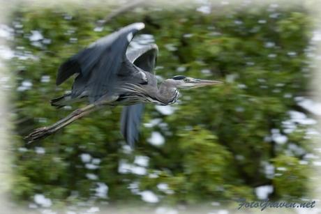 Vliegende blauwe reiger