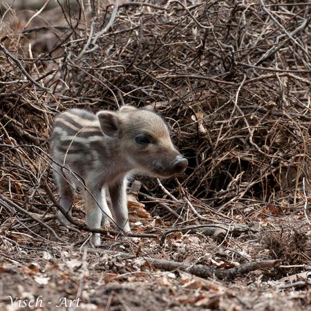 Welkom op de wereld klein gestreept speklapje. ;-) - Zes kleine varkentjes zijn er in het Aardhuis (veluwe) geboren vorige week. Een beetje vroeg voor het jaar maar wel leuk om te zien. - foto door visch-castle op 28-07-2014
