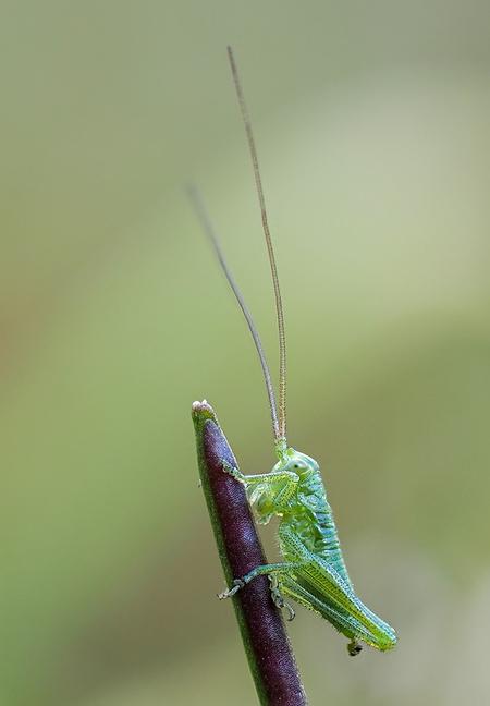 Grote Groene Sabelsprinkhaan (nimf) - . Deze moet nog wel wat groeien want hij is nog maar 4mm klein. - foto door RonWestbroek op 15-04-2021 - locatie: Papendrecht, Nederland - deze foto bevat: sprinkhaan, macro, bokeh, groen, sabelsprinkhaan, natuur, macrofotografie, insect, insect, fabriek, geleedpotigen, oog, takje, terrestrische plant, plaag, ongewervelden, parasiet, kunst