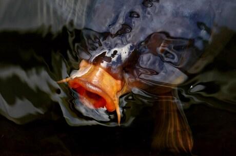 Fishmouth