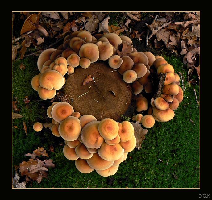 """Autumn Flavour 5 - Waarom in je uppie staan? Dit is toch veel gezelliger!!  Nummer 5 uit mijn paddenstoelenserie gemaakt in """"De Oldemeyer"""" bij Hardenberg.  (Zie ook - foto door daniel44 op 02-11-2006 - deze foto bevat: autumn, natuur, bruin, zwam, herfst, paddenstoel, bos, veel, daniel44, seizoen, oldemeyer"""