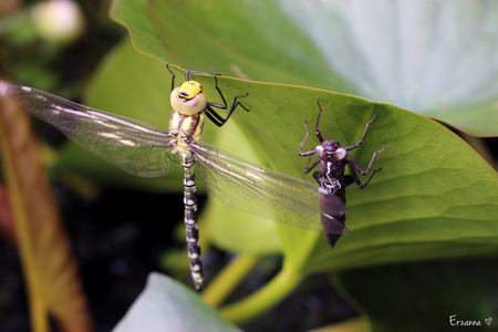 Libelle met larve - In onze vijver aan het blad van een waterlelie zat deze libelle op te drogen, nadat hij net uit de larve was gekropen. - foto door Erzanna op 22-07-2015 - deze foto bevat: blad, dieren, insect