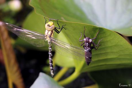 Libelle met larve