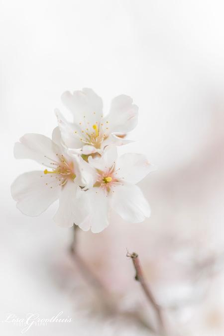 Bloesem - + Canon 100mm F/2.8L - foto door LGphotography op 28-03-2021 - deze foto bevat: macro, bloem, lente, natuur, bloesem, bokeh
