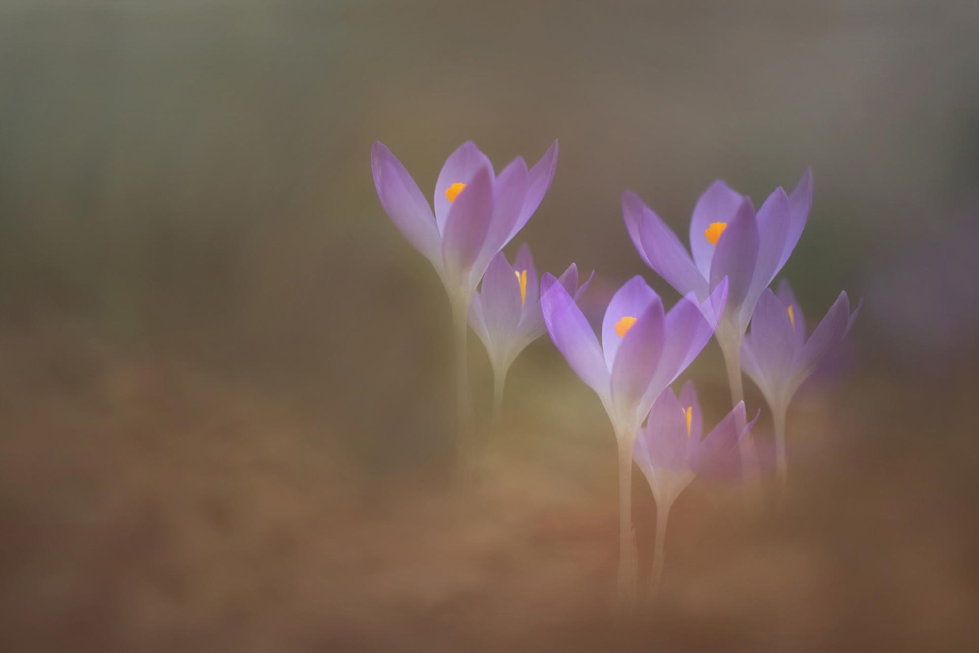 Lentegevoel - Als de eerste lentebloeiers zich laten zien weet je dat het macro seizoen weer gaat beginnen. Foto gemaakt met meervoudige belichting. - foto door NelTalen op 07-03-2017 - deze foto bevat: paars, macro, bloem, lente, meervoudige belichting - Deze foto mag gebruikt worden in een Zoom.nl publicatie