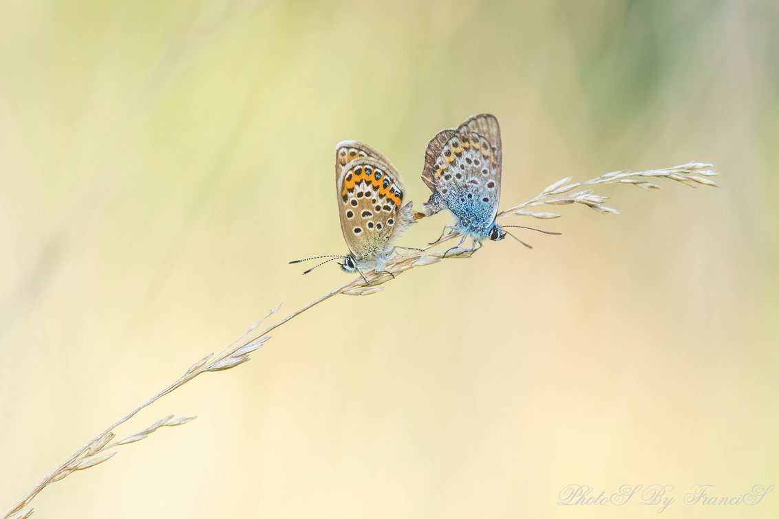 Parende heideblauwtjes. - Gisterenavond een rondje heide gelopen en toen kwam ik dit verliefde koppeltje tegen. Ik heb er wel een uur bijgezeten, wat een mooie ervaring. De mo - foto door Francis-Dost op 27-06-2018 - deze foto bevat: macro, natuur, vlinder, bruin, blauwtje, geel, zomer, insect, dof