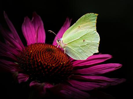 Citroenvlinder op echinaceabloem