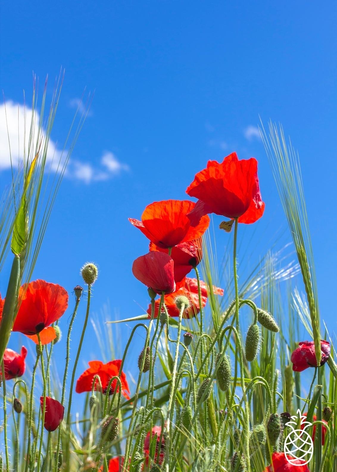Colorful - Ze zijn er weer.... Weer volop aanwezig hier de klaprozen. Altijd weer mooi het rood tegen de blauwe lucht.  Hondón de los Frailes Spanje. - foto door HenkPijnappels op 14-05-2020 - deze foto bevat: lucht, wolken, rood, lente, natuur, licht, landschap, klaproos