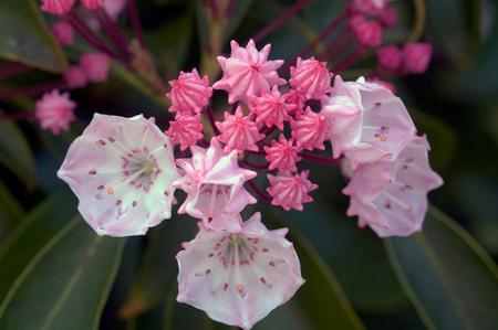 4 Kalmia - De zachte kleuren van een bloeiende Kalmia. - foto door kiekkaste op 27-06-2014 - deze foto bevat: macro, bloem, voorjaar