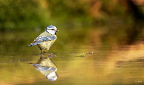 Pimpelmees met reflectie in het water