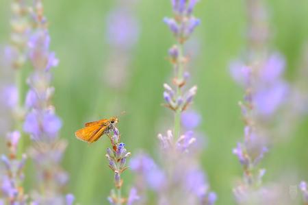 Oranje - Oranje vlinder tussen de lavendel. - foto door joostopzoomnl op 21-08-2015 - deze foto bevat: groen, paars, macro, natuur, vlinder, oranje, dieren, frankrijk, nikon, lavendel, joost, nikkor, Watermerk