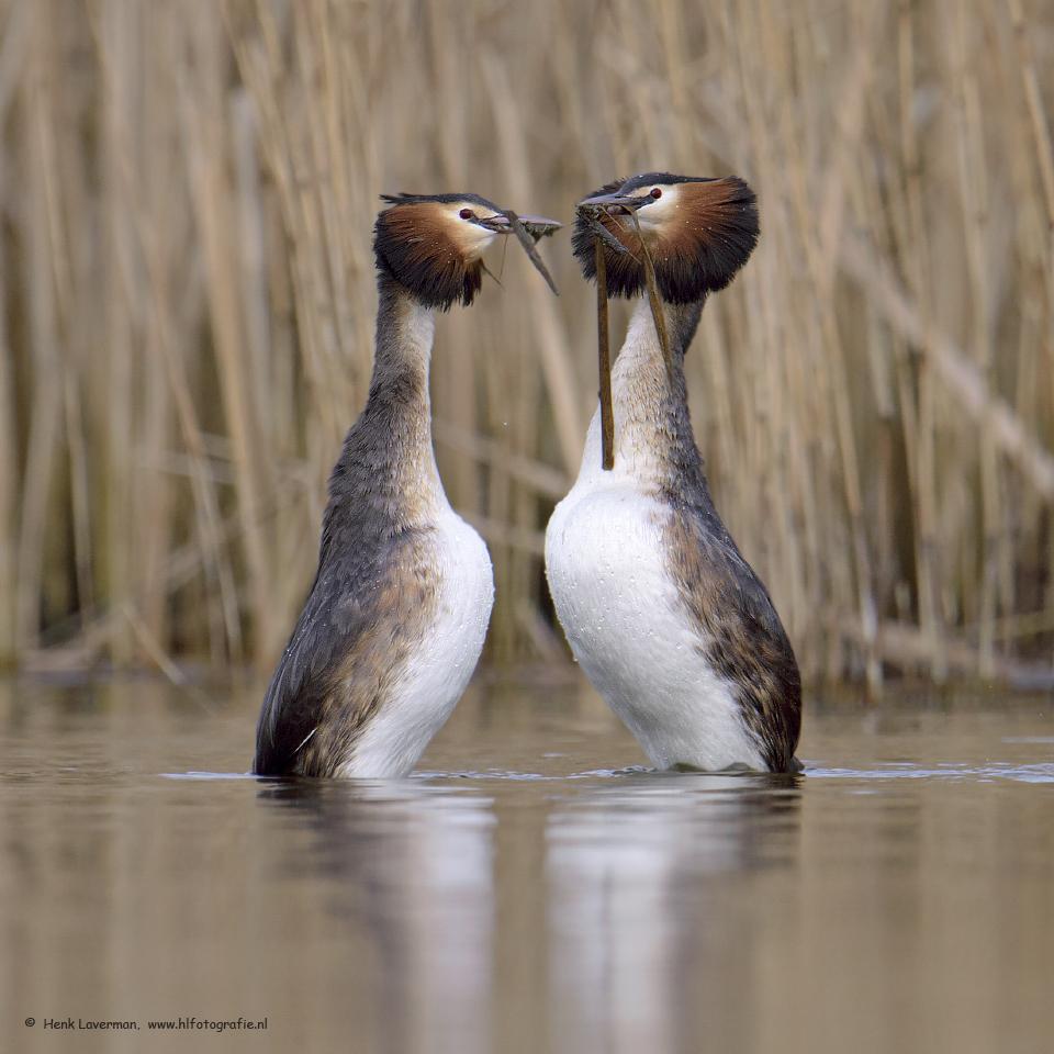 """Pinguindan Futen - """"Op foto klikken is mooier""""    Het vastleggen van het watertrappelen van de Futen tijdens de balts is altijd prachtig om te doen. De variatie van d - foto door Henk Laverman op 11-03-2015 - deze foto bevat: fuut, friesland, balts, vogelfotografie, Henk Laverman"""