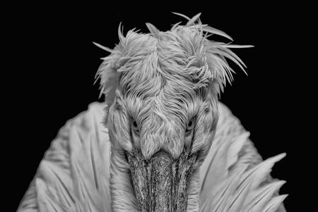 Angry bird - pelikaan van boven af. - foto door Feline op 22-10-2016 - deze foto bevat: vogel, pelikaan