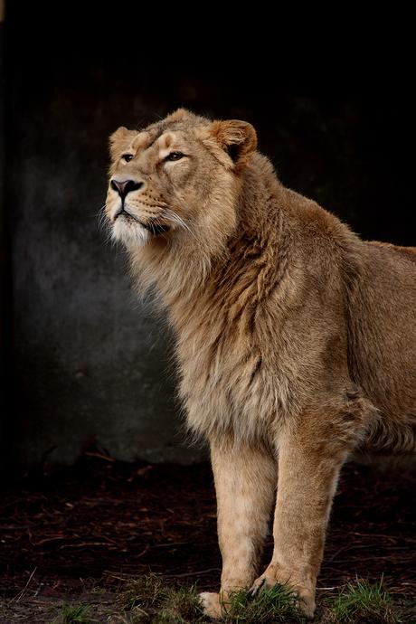 Indische leeuw