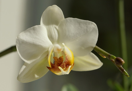 Philanopsis