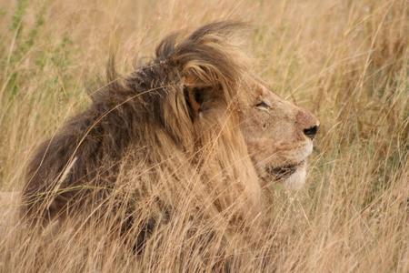 Leeuw in Zuid Afrika - Leeuw in het wild in Zuid-Afrika, gemaakt met 70-300mm lens - foto door Poema77 op 08-03-2021 - deze foto bevat: kat, leeuw, wildlife