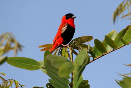 Rode vogel wast Afrika.