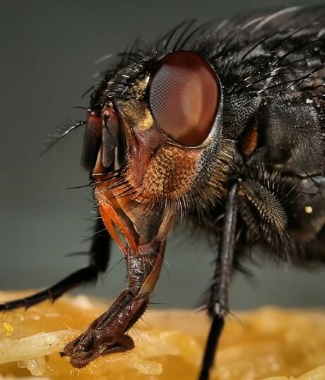 De roodwangbromvlieg op de sinaasappel.