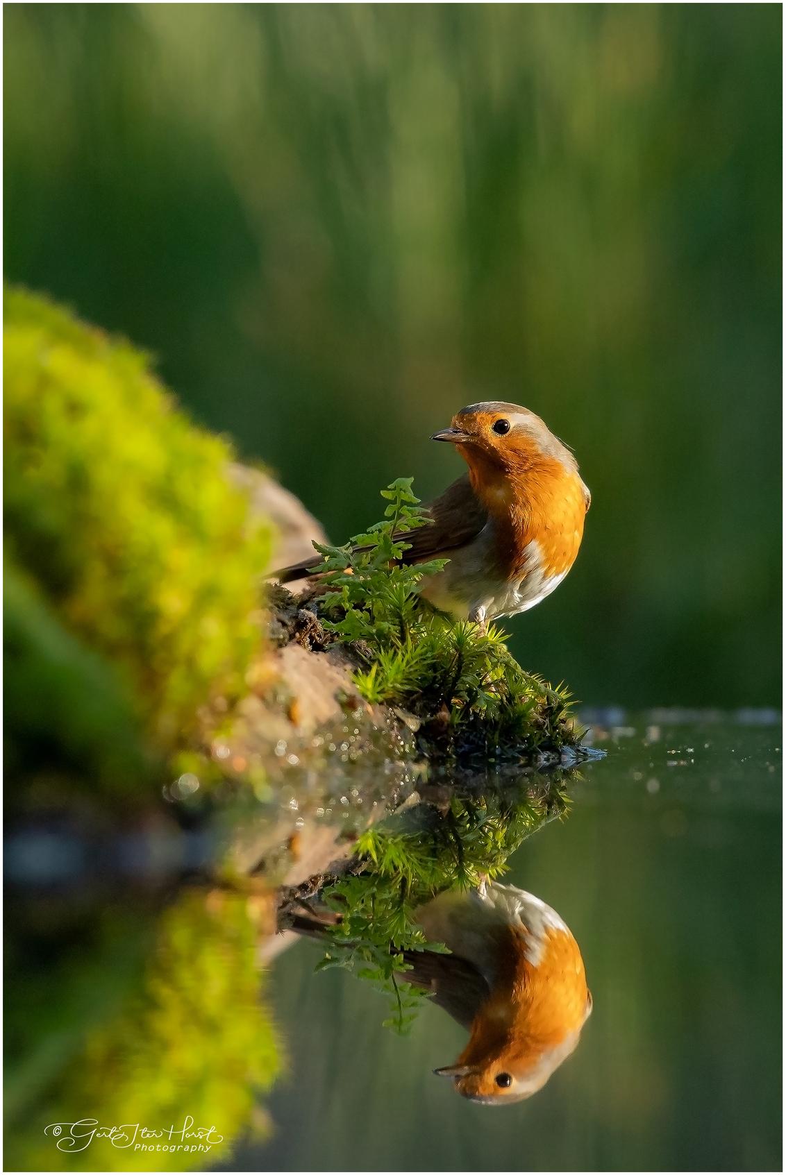 Reflectie - Ik vind foto's met een scherpe reflectie altijd spannend. Dit Roodborstje ging er even goed voor zitten naast een varentje. - foto door Gertj123 op 17-05-2020 - deze foto bevat: water, natuur, roodborstje, dieren, vogel, wildlife, zangvogel