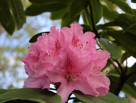 "Rhododendron ""Roseum Elegans"""