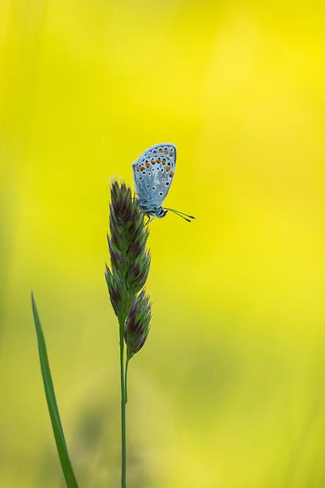 blue en yellow